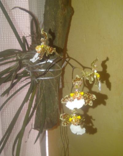 Artificiales flores de seda Ranunculus Posy Bunch Naranja Amarillo Crema 10 Tallos 23cm