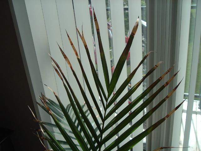 Problemas, plagas y enfermedades de Chamaedorea o palmera de salón