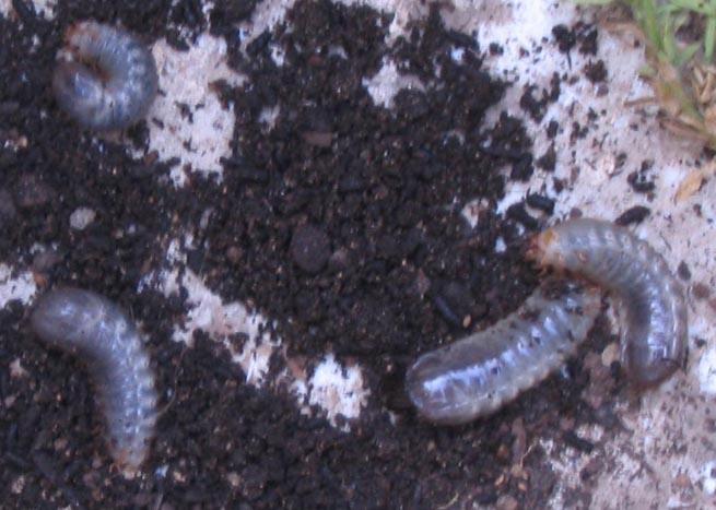gusanos en la tierra