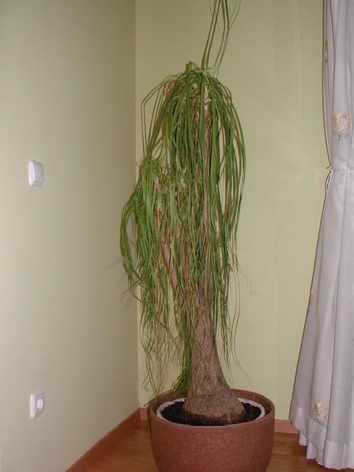 Problemas plagas y enfermedades de beaucarnea nolina o - Enfermedades de las plantas de interior ...