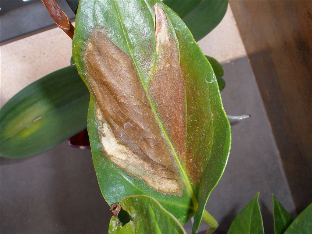 Problemas plagas y enfermedades de anturio - Enfermedades de las plantas de interior ...