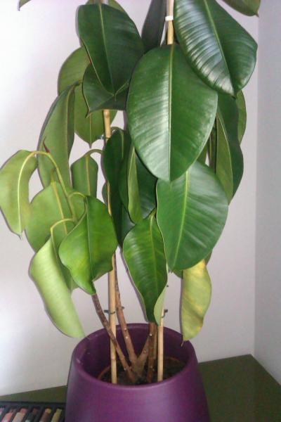 Problemas plagas y enfermedades de ficus de hoja grande - Enfermedades de las plantas de interior ...