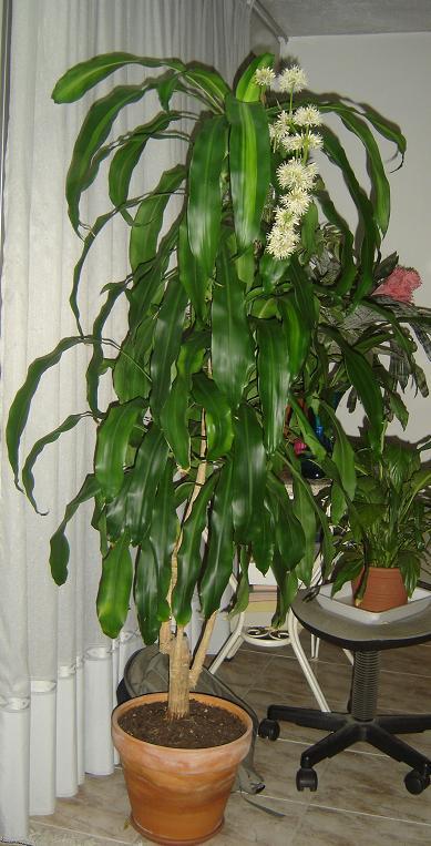 Tronco del brasil o palo de brasil - Plantas grandes de interior resistentes ...