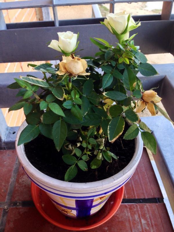 cultivo del rosal en maceta