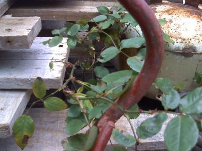 plantar rosales en macetas y sustrato adecuado