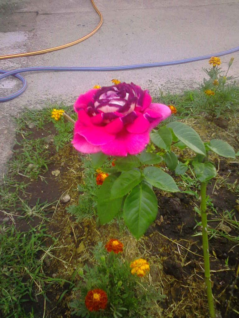 Multiplicaci n de rosales por injerto y acodo - Como injertar rosales ...