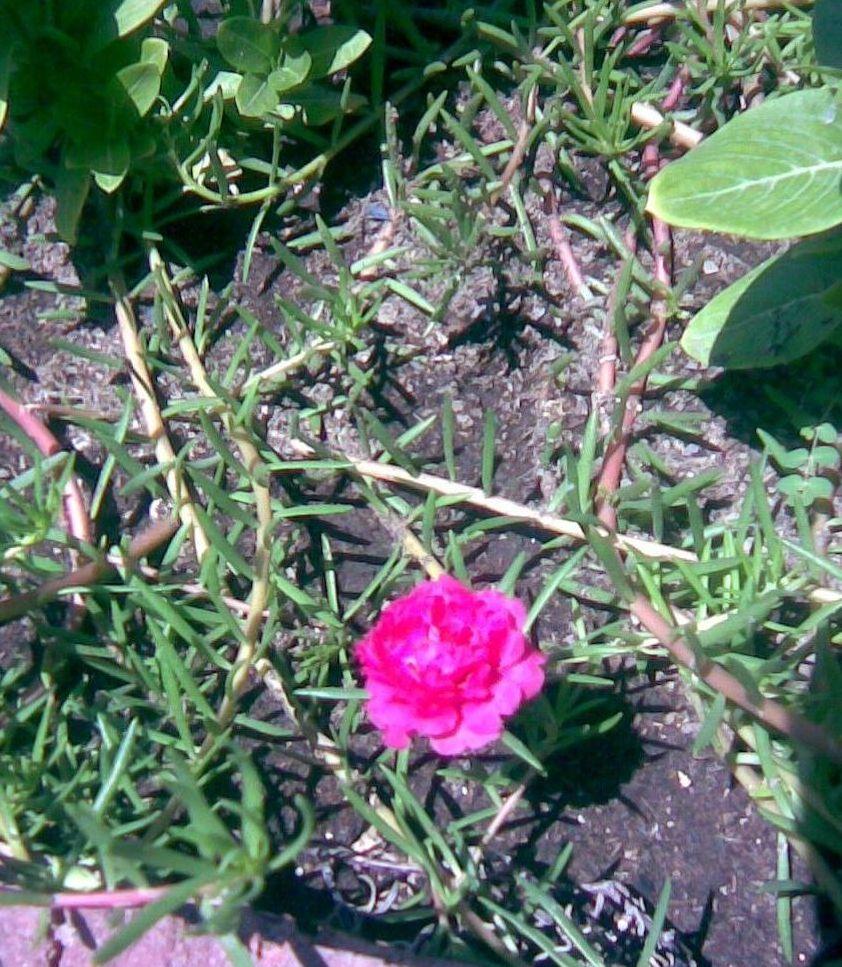 Portulaca grandiflora y Portulaca umbraticola