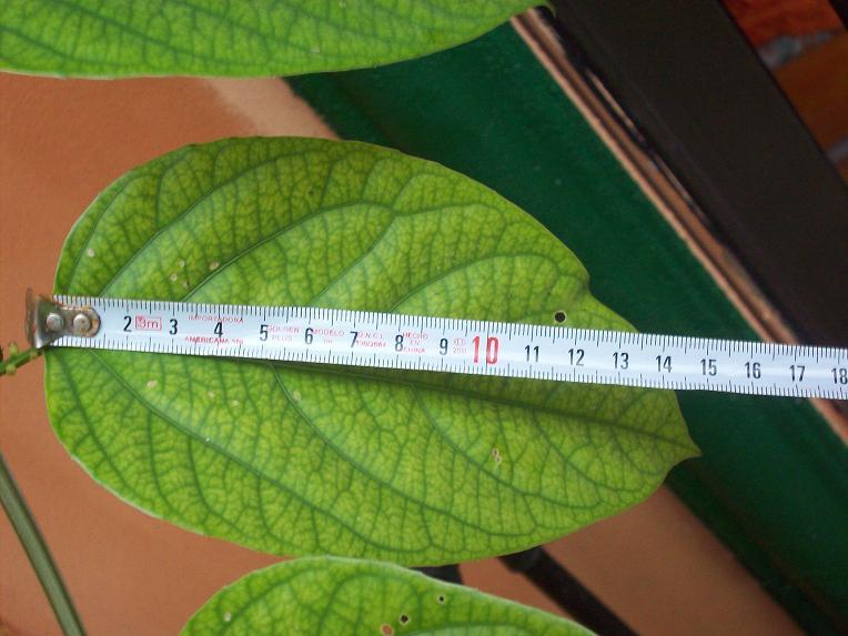 Problemas, plagas y enfermedades de Passiflora